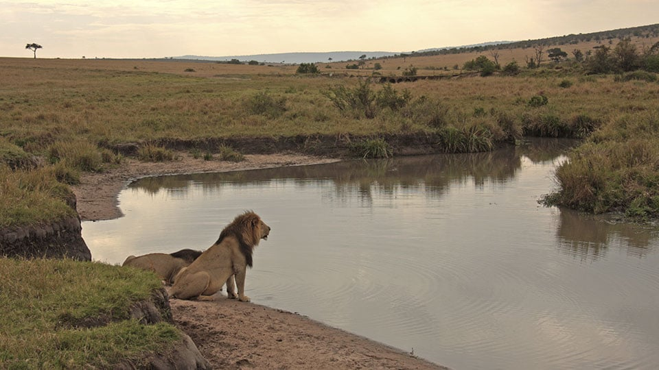 Lions drinking at waterside in Maasai Mara, Kenya